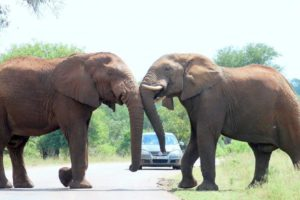 Two elephants fighting on the road in front of a car 5 day Kruger Park safari tour